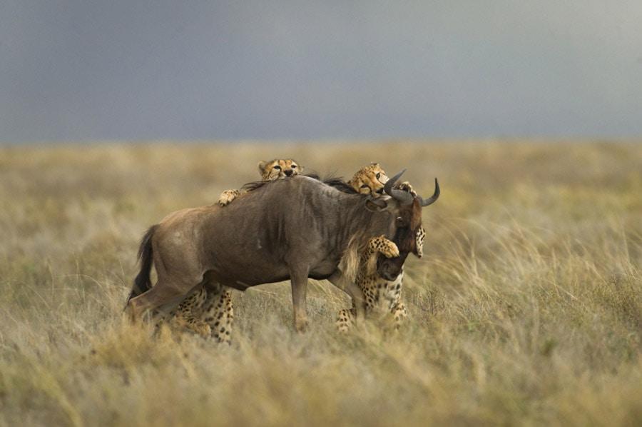 Cheetahs attacking