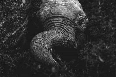 black and white elephant portrait by ashleigh pienaar