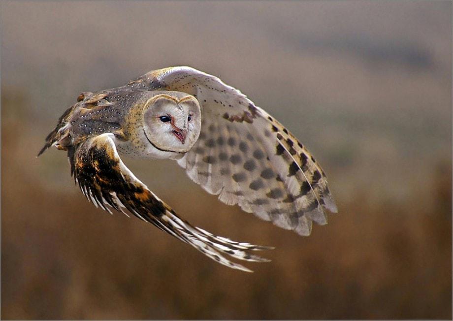Leon Pelser Owl In Flight