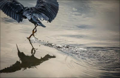 avian photo of a black heron about to take flight