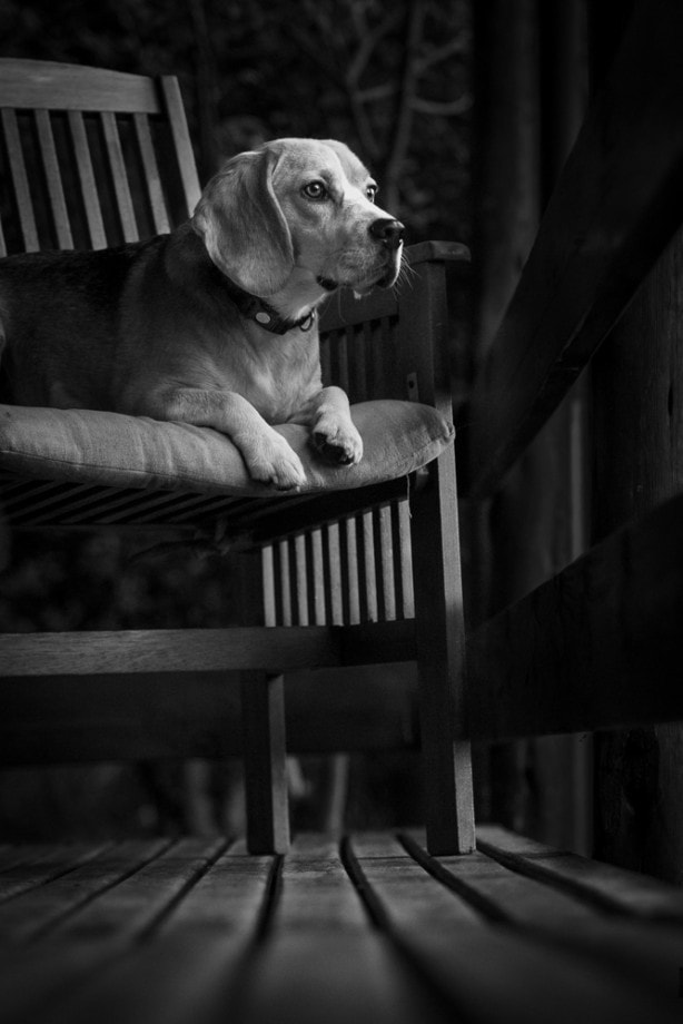 black and white photograph of a dog sitting on a chair