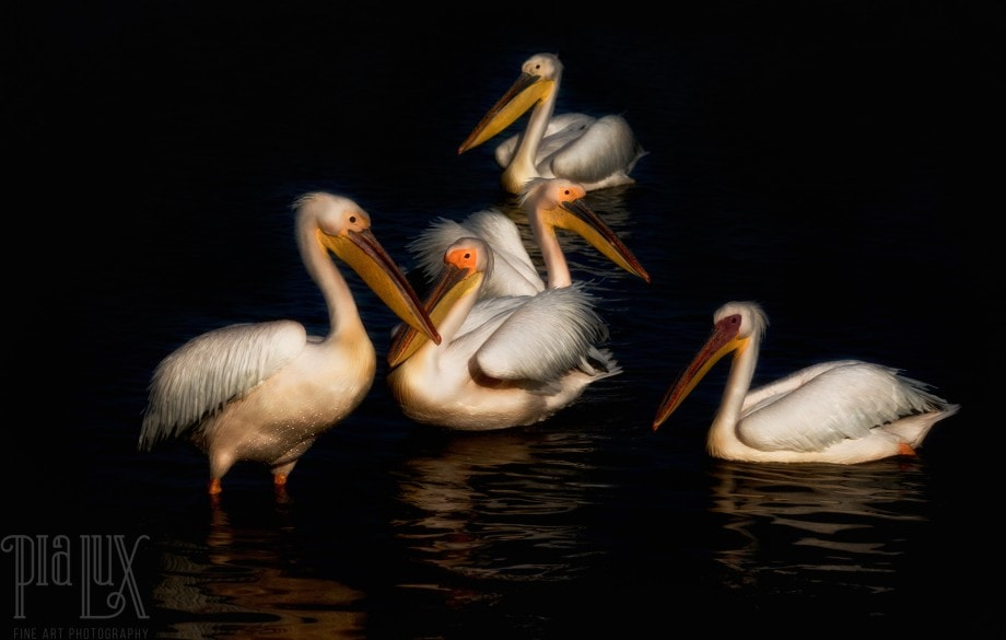 artistic wildlife photo of pelicans on the water