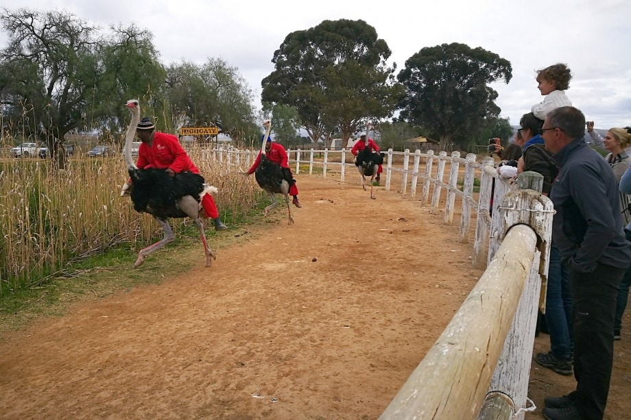 ostrich races in the western cape town of oudtshoorn.