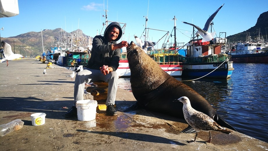 bubbles, a large cape fur seal, stops by for a treat in fish hoek, western cape.