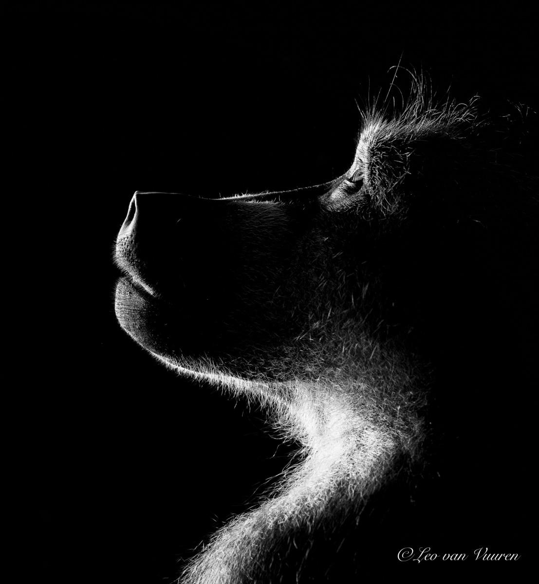 baboon by leo van vuuren